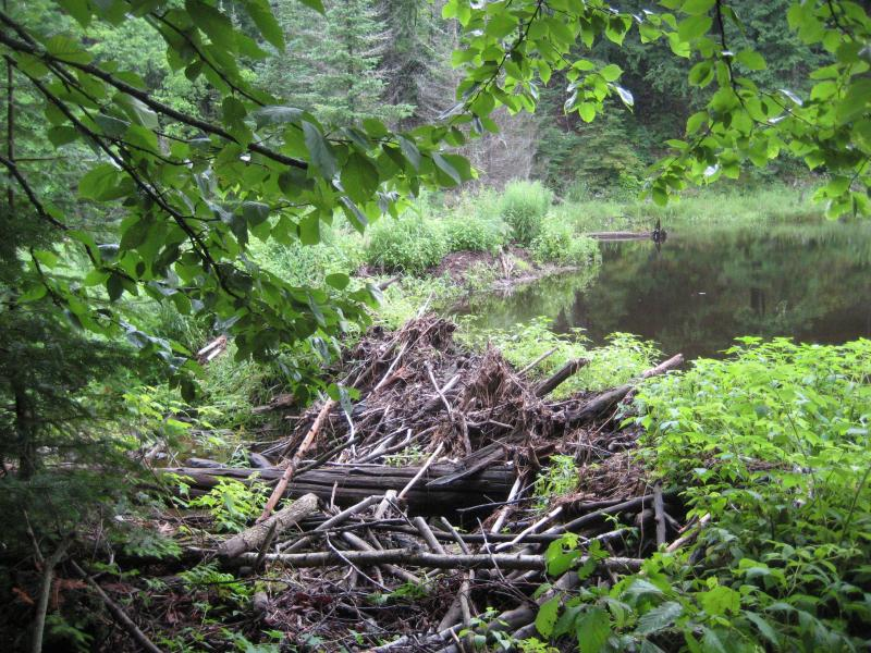 Huge beaver dam upstream